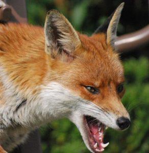 fox-292x300